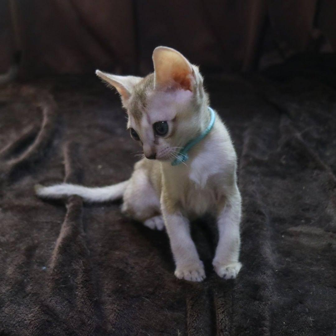 シンガプーラの子猫「あけましておめでとうございます」