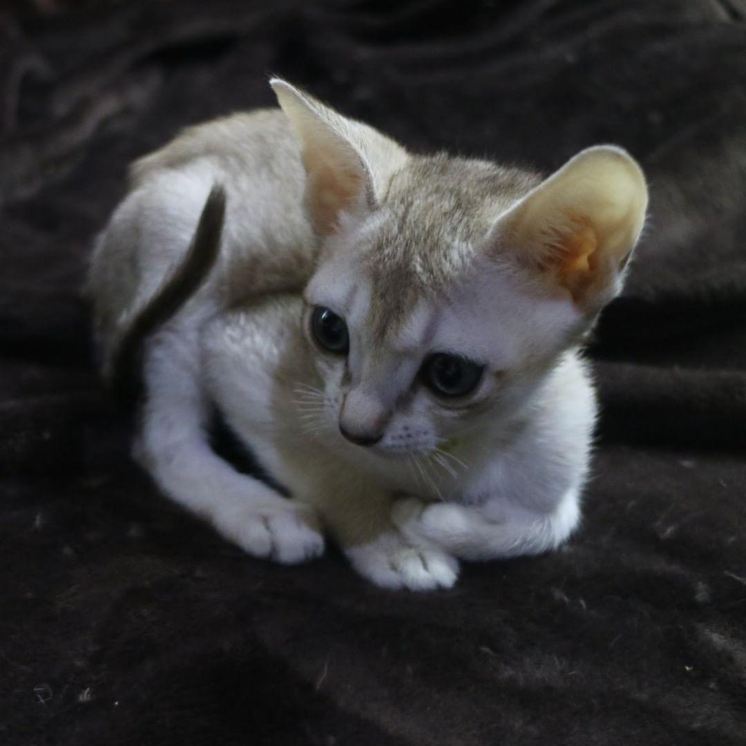 シンガプーラの子猫「初心表明」
