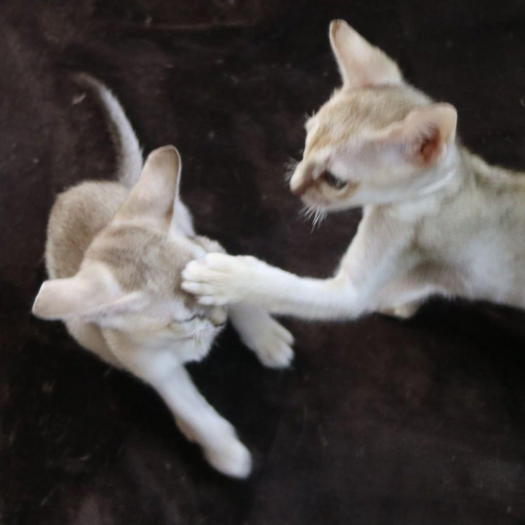 シンガプーラの子猫「熱があるんじゃない?」