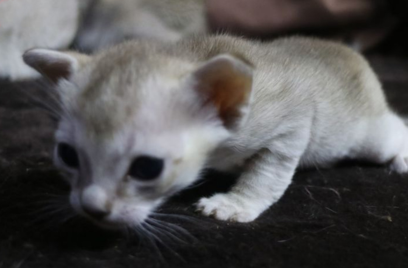 シンガプーラの子猫が生まれました。